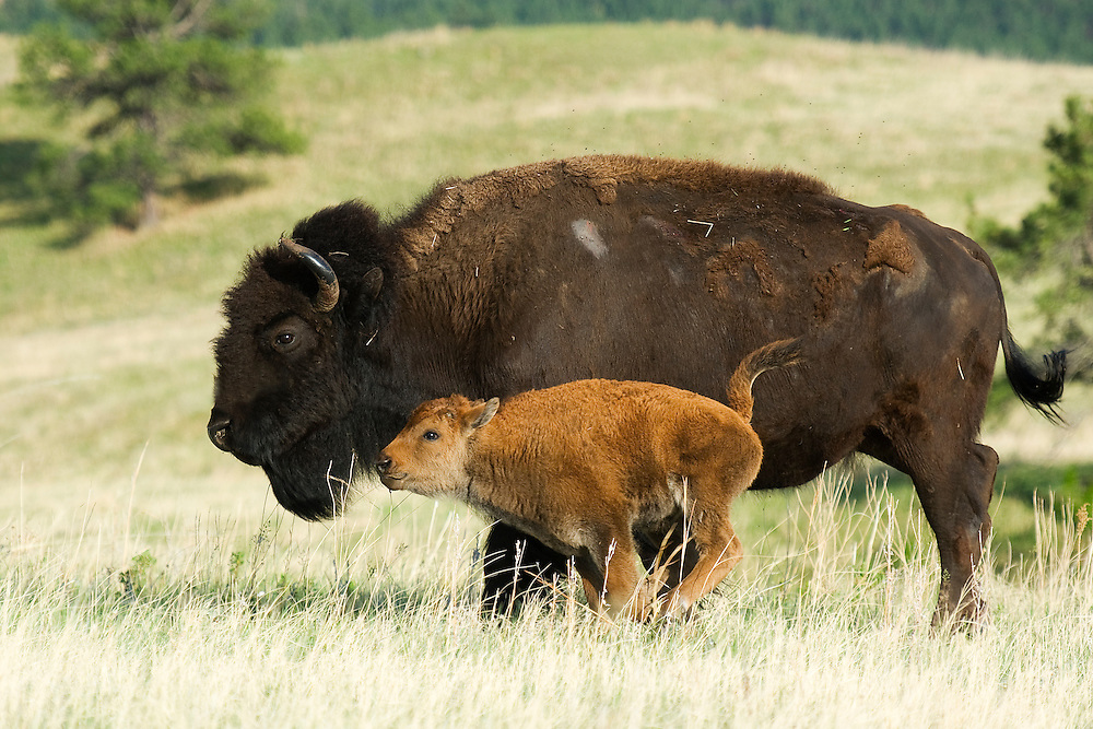 An exuberant bison calf kicks up its heals.  Spring is time for play - at least while mama is nearby.