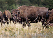 .A small herd of Buffalo in Custer State Park, South Dakota.