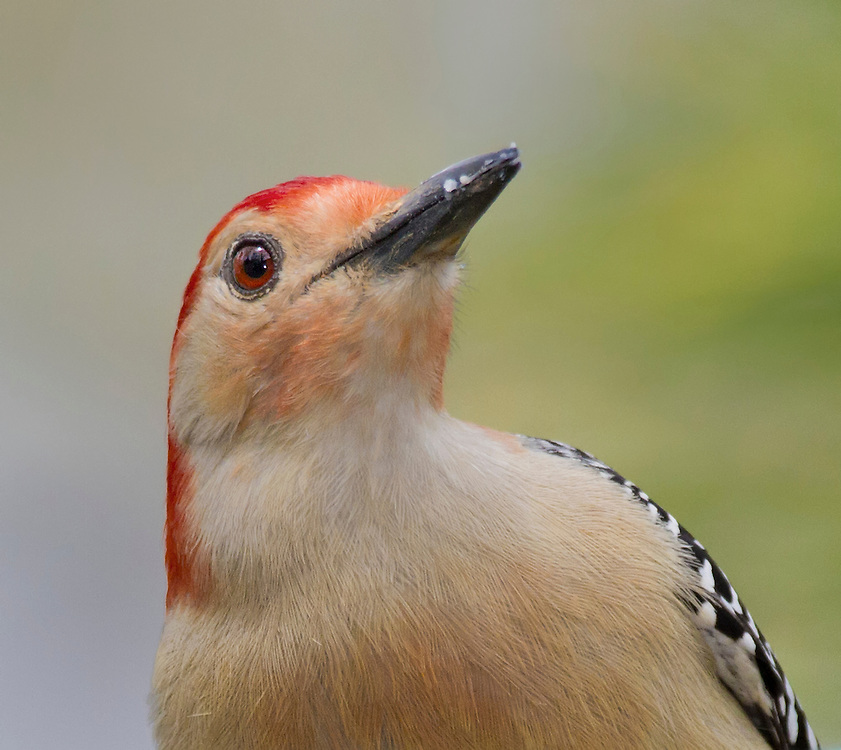 Male Red-bellied Woodpecker (Melanerpes carolinus) portrait