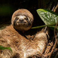 A female three-toed sloth in the tropical rainforest near Casual off of the Marañon River. Pacaya Samiria National Reserve, Upper Amazon, Peru.