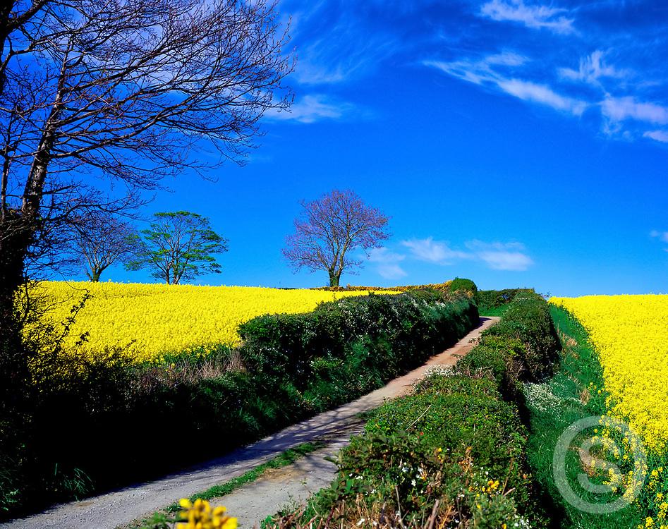 Photographer: Chris Hill, Rape Fields, Seaforde, County Down