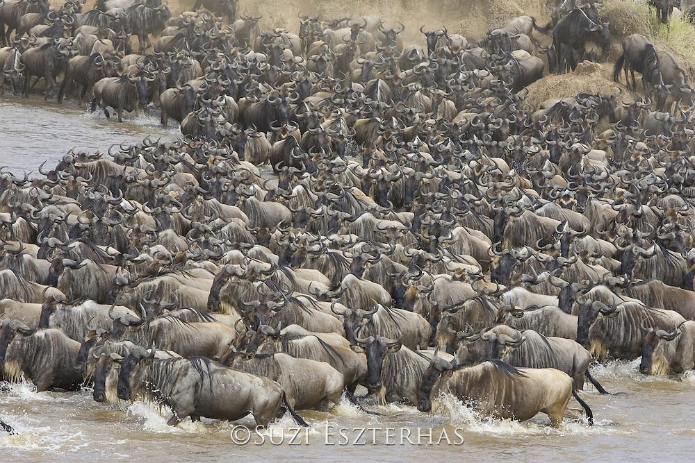 Wildebeest<br /> Connochaetes taurinus<br /> Maasai Mara Reserve, Kenya<br /> Wildebeest crossing the Mara River