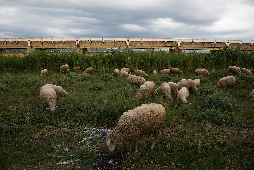 Sheep feed in the delta of the Vjosa River, where it flows into Adriatic Sea. The area is rich farmland, fed with minerals and sediment from the free flowing Vjosa River. The area has mostly been drained and the Vjosa is used for irrigation, built during the Communist era.