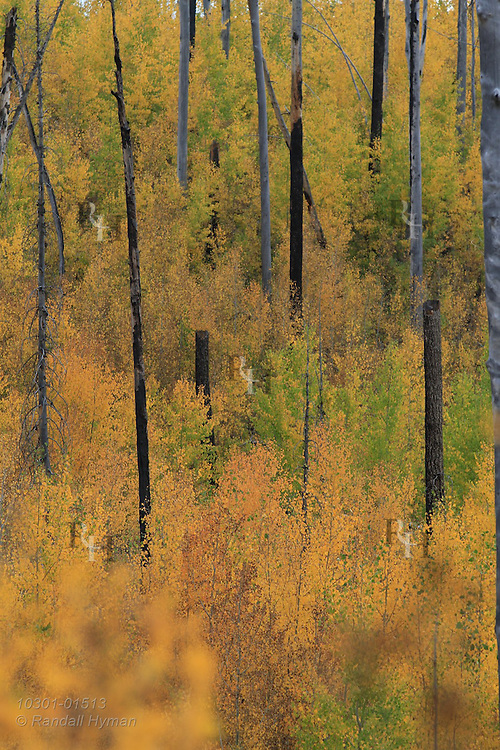 Quaking aspens fill North Rim forests with autumn gold in late September at Grand Canyon National Park, Arizona.