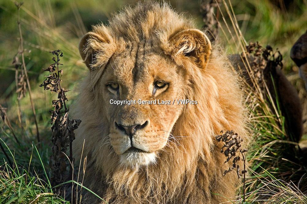 Katanga Lion or Southwest African Lion, panthera leo bleyenberghi, Portrait of Male