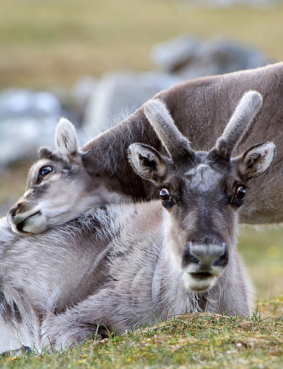 Svalbard reindeer / Rangifer tarandus platyrhynchus<br /> Svalbard<br /> Norway