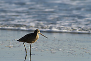 Marbled Godwit, California