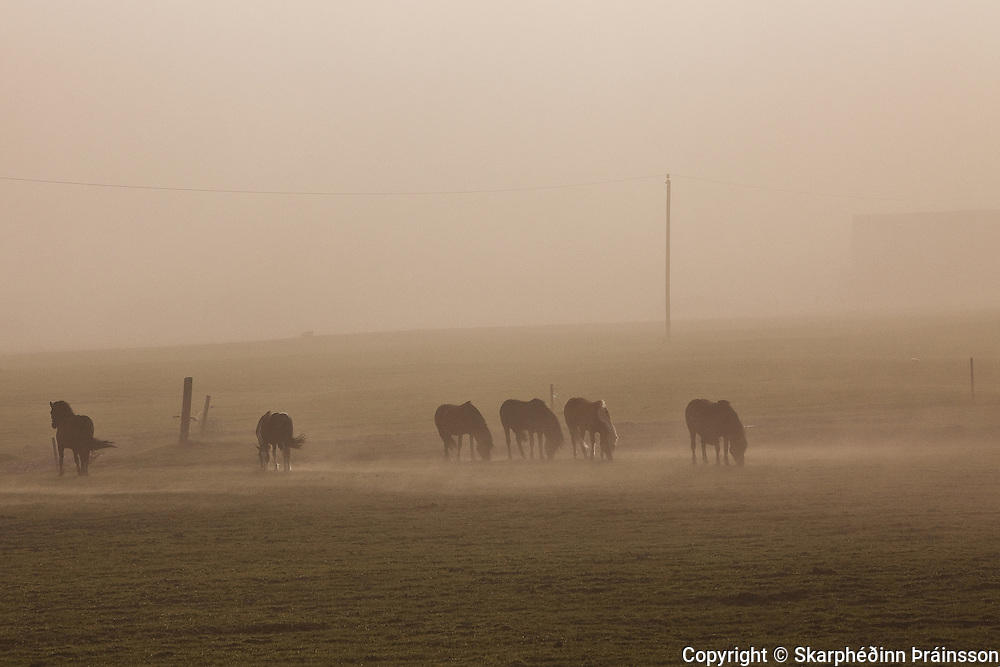 Icelandic horses in the volcanic ash from erupting Grimvötn, south Iceland