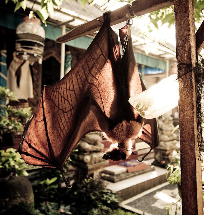A large fruit bat entertains itself in Ubud, Bali, Indonesia.