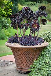 Aeonium arboreum  'Zwartkop' syn. 'Schwarzkopf' in a terracotta pot underplanted with a tradescantia
