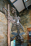 Extinct mammal - Megatherium Americanum. Giant ground sloth lived in the cool, dry scrub and grasslands of South America until about 10,000 years ago.  The skeleton is often mistaken for that of a dinosaur, but the giant ground sloth was actually a mammal