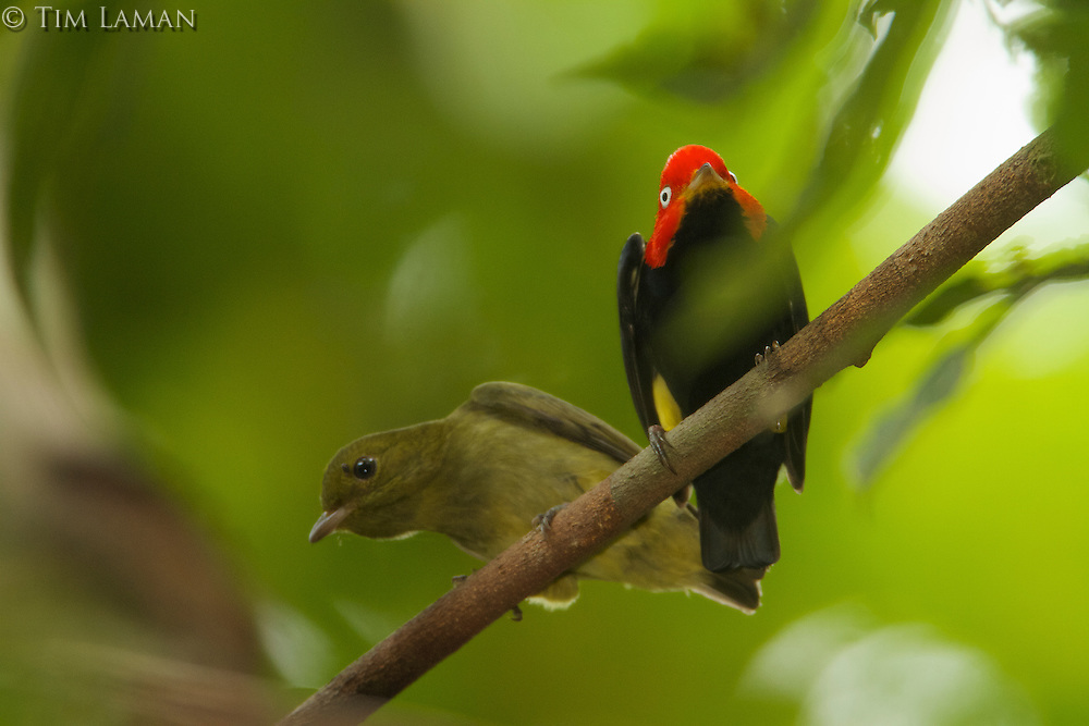 Red-capped Manakin (Pipra mentalis)<br />Adult male with young male at his display perch.<br /><br /><br />Location:  N 09&ordm;09.38', W79&ordm;44.56'<br />Soberama National Park, Gamboa, Panama
