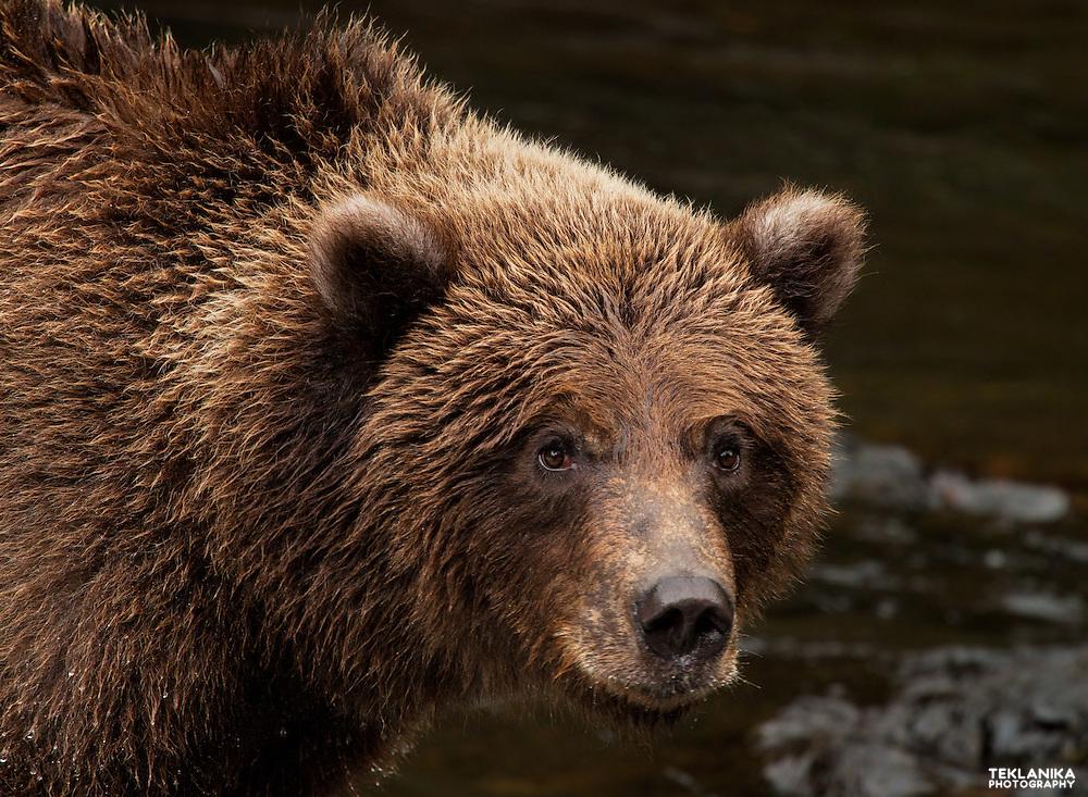 Alaska brown bear cub fishing in a river at the Kenai National Wildlife Refuge.
