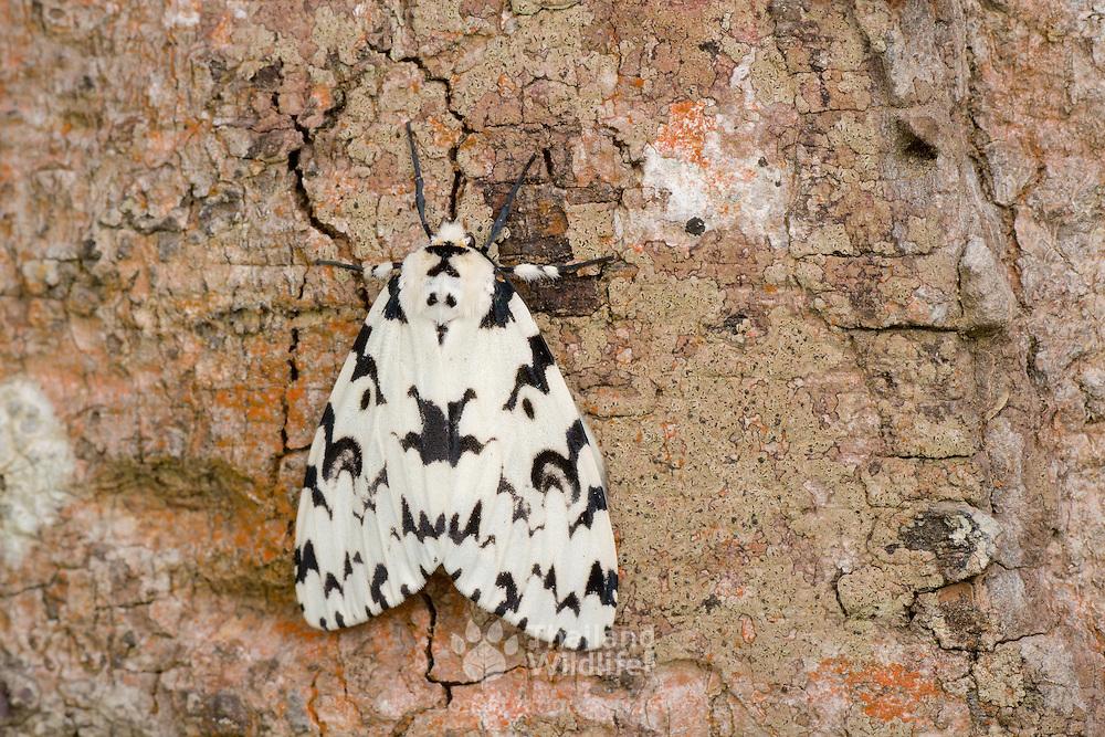Lymantria, Lymantridae, moth, moths, white, lepidoptera,