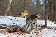 Black wolf feeding on deer carcass while other pack members leave the site in wooded winter habitat. Captive pack.