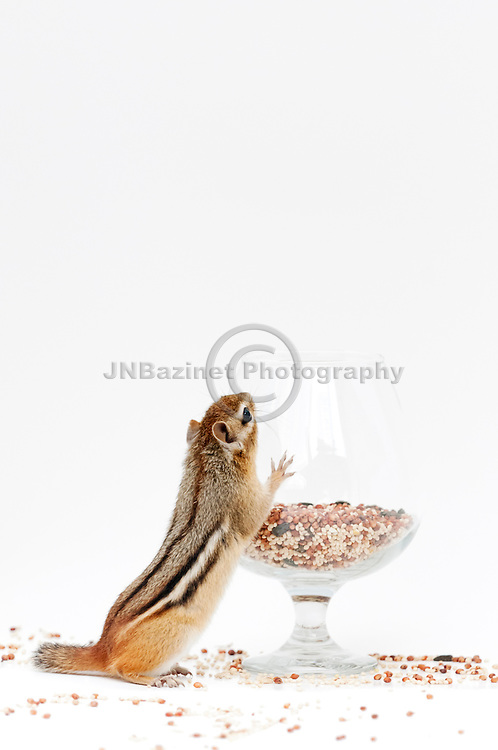 Chipmunk explores how to access seed in a glass