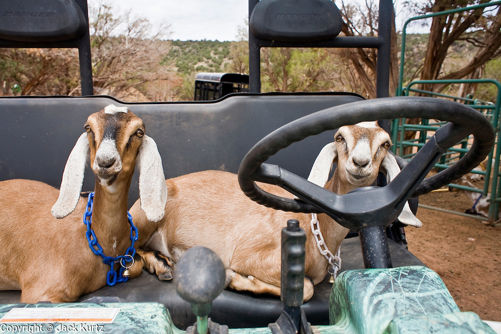 July 26, 2008 -- SNOWFLAKE, AZ: Nubian dairy goats in the ranch all terrain vehicle on the Black Mesa Ranch, a 280 acre spread in the high desert near Snowflake, AZ. The ranch owners, David and Kathryn Heininger, run a herd of about 40 Nubian dairy goats and hand make artisan cheese from the goat's milk. It's a second gear for them, they retired from Tucson, AZ, where they bought and renovated  historic homes. The moved to the ranch in 2001 and started making and selling cheese shortly after the move. Their cheese is used in expensive restaurants in Phoenix and sold at natural food stores in Arizona.   PHOTO BY JACK KURTZ