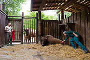 A European bison, Bison bonasus,  in a cage anesthetized by the Arca Foundation team. The bison will be transported to Romania for release in the wild, as part of the project Life Re-Bison organized by the Rewilding Europe foundation.