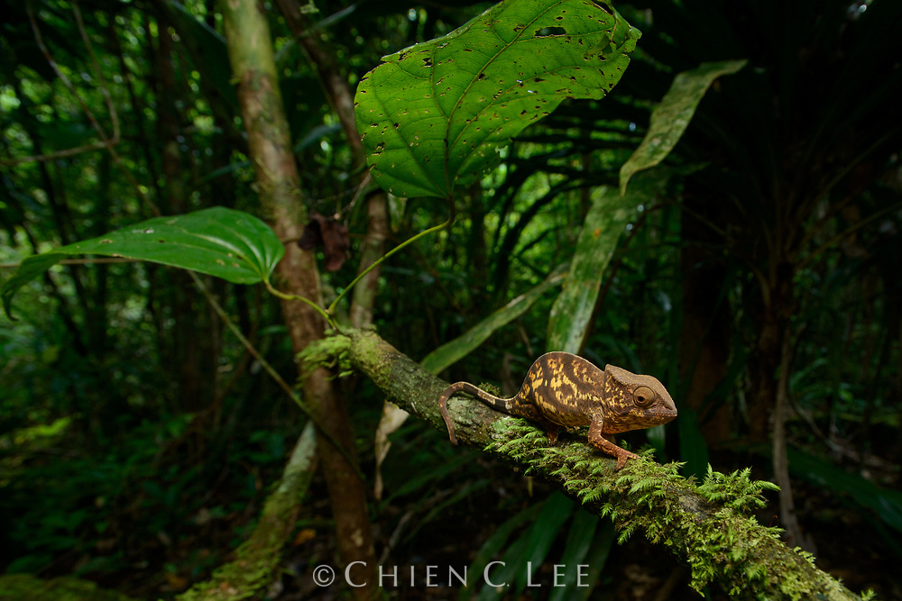 A young Parson's Chameleon (Calumma parsonii) in the rainforest of Masoala National Park. Antsiranana, Madagascar.