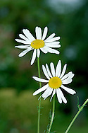 SCENTLESS MAYWEED Tripleurospermum inodorum (Asteraceae) Height to 75cm. Scentless, hairless and often rather straggly perennial of disturbed and cultivated ground. FLOWERS are borne in clusters of solitary, long-stalked heads, 20-40mm across, comprising yellow disc florets and white ray florets (Apr-Oct). No scales between disc florets. Receptacle is domed and solid. FRUITS are achenes tipped with black oil glands. LEAVES are feathery and much-divided. STATUS-Widespread and common.