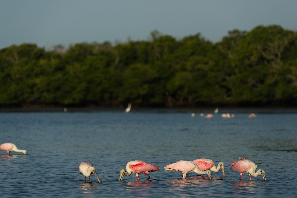 Roseate Spoonbills feed during low tide in the Florida Everglades