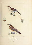 hand coloured sketch Top: brown-backed mockingbird (Mimus dorsalis [Here as Orpheus calandria]) Bottom: Northern Mockingbird (Mimus polyglottos) [Here as Orpheus thenca]) From the book 'Voyage dans l'Amérique Méridionale' [Journey to South America: (Brazil, the eastern republic of Uruguay, the Argentine Republic, Patagonia, the republic of Chile, the republic of Bolivia, the republic of Peru), executed during the years 1826 - 1833] 4th volume Part 3 By: Orbigny, Alcide Dessalines d', d'Orbigny, 1802-1857; Montagne, Jean François Camille, 1784-1866; Martius, Karl Friedrich Philipp von, 1794-1868 Published Paris :Chez Pitois-Levrault et c.e ... ;1835-1847