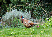 Lockdown project - Pheasant
