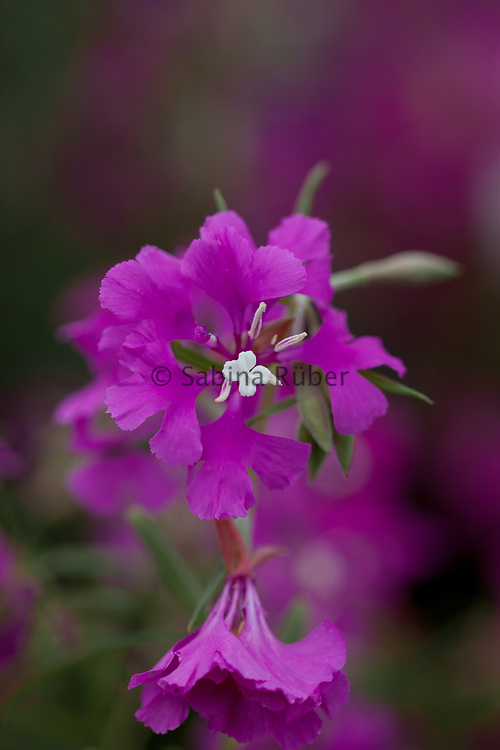 Clarkia pulchella 'Fairy Mixture' - farewell-to-Spring