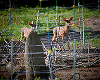 Pair of Fawns Outside the Electric Fence. Image taken with a Nikon D5 camera and 500 mm f/4 VR lens