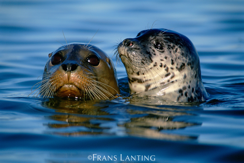 Harbor seals, Monterey Bay, California, USA
