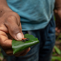 A local man holds a red-backed poison frog (Ranitomeya reticulata) on a leaf at the Casual Trail off of the Maranon River in the Peruvian Amazon.