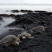 Green Sea Turtles (Chelonia mydas) hauled out on a black sand beach at dusk on the big island of Hawaii.