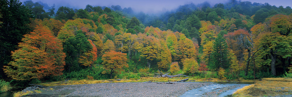 Andean Temperate Forest in Autumn , Lonquimay , Chile