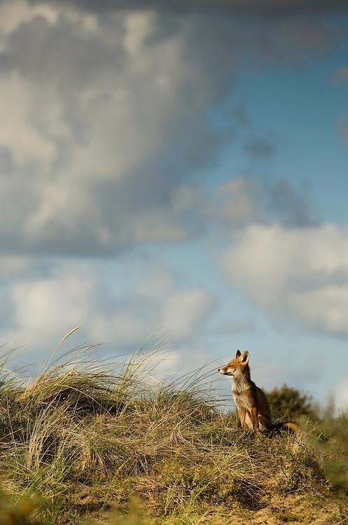 Red Fox cub. Amsterdamse waterleidingduinen, The Netherlands. July 2011.<br /> <br /> Rode vos welp. Amsterdamse waterleidingduinen, Nederland. Juli 2011.