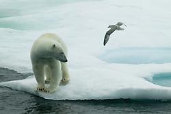 Polar bear (Ursus maritimus) and Nothern fulmar (Fulmarus glacialis)  in Hinlopen, Svalbard