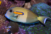 Orange-spotted Surgeonfish, Acanthurus olivaceus.