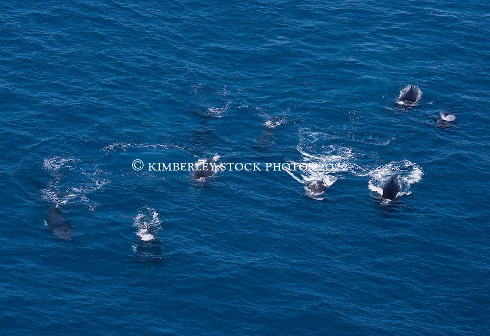 Nine whales travel on the surface near James Price Point on the Kimberley coast.