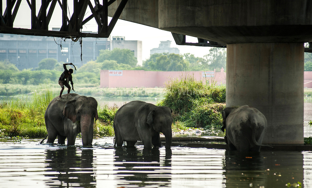 6th May 2014, Yamuna River, New Delhi, India. A handler stands on one of three elephants in the Yamuna River and beats it with a bamboo stick, New Delhi, India on the 6th May 2014. <br />