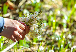 THEMENBILD - eine Detailansicht von einem jungen Mädchen, das Märzenbecher (Frühlingsknotenblumen) pflückt aufgenommen am 02. April 2018, Kaprun, Österreich // a detail view of a young girl picking Märzenbecher (spring knot flowers) on 2018/04/02, Kaprun, Austria. EXPA Pictures © 2018, PhotoCredit: EXPA/ Stefanie Oberhauser