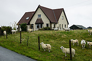 Sheep on a croft in Digg village, near Staffin, Isle of Skye, Scotland, United Kingdom, Europe.