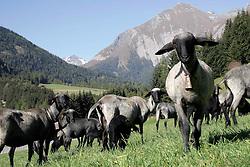 """08.06.2011, Anras, Osttirol, AUT, Scrapie bei Schaf, Hof gesperrt, Bei einem zugekauften Schaf aus Kärnten wurde in Osttirol die Hirnerkrankung """"Scrapie"""" diagnostiziert. Der Hof an dem das Schaf verendete, mußte gesperrt werden. Warscheinlich müssen weitere 93 Schafe getötet werden. Bei der Kadaverbeprobung des siebenjährigen konnte die Hirnerkrankung Scrapie diagnostiziert werden, wie das Land Tirol in einer Aussendung am Mittwochmorgen mitteilte. Es handle sich um einen atypischen Fall, der nun in Großbritannien genauer abgeklärt werden soll. Es wurden krankhaft veränderte Prionen gefunden, die aber noch nicht eindeutig diagnostiziert werden konnten. Aufgrund der durchgeführten Erhebungen könne ausgeschlossen werden, dass verdächtige Tiere aus dem betroffenen Betrieb in die Nahrungskette gelangt seien, sagt Landesveterinärdirektor Josef Kössler. ARCHIVBILD,  es wurde am  07.10.2008 in Kals am Großglockner aufgenommen. EXPA Pictures © 2011, PhotoCredit: EXPA/ Peter Gruber"""