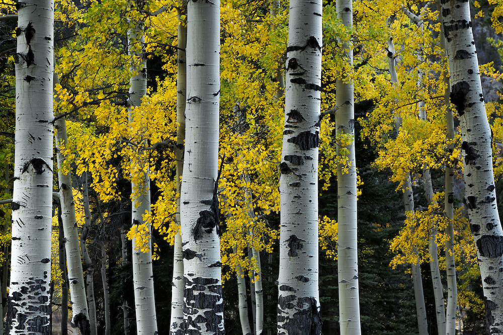 Aspen trees, Rocky Mountain National Park, Colorado, USA