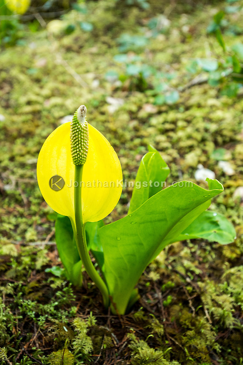 Western Skunk cabbage (lysichiton americanus) growing on the forest floor in Klewnuggit Inlet Marine Provincial Park, British Columbia, Canada.