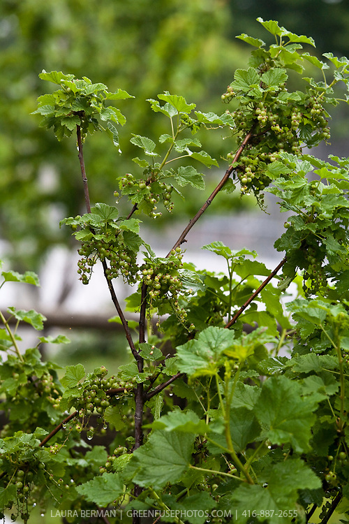 Currants (Ribes)