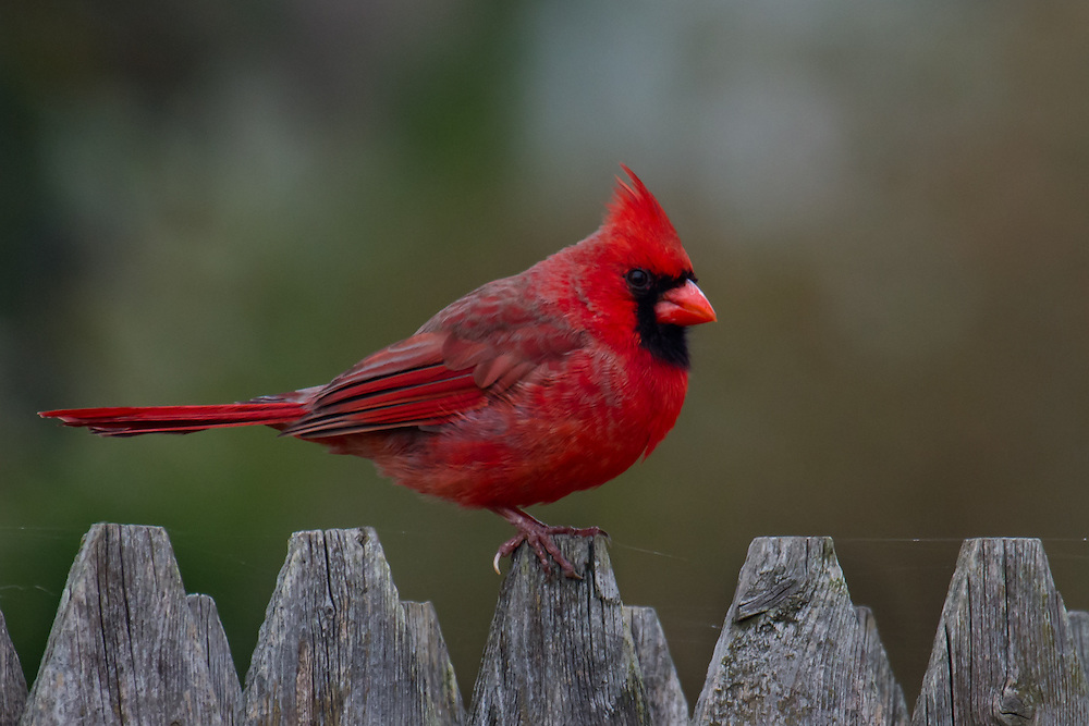 Cardinal on a fence in my backyard.