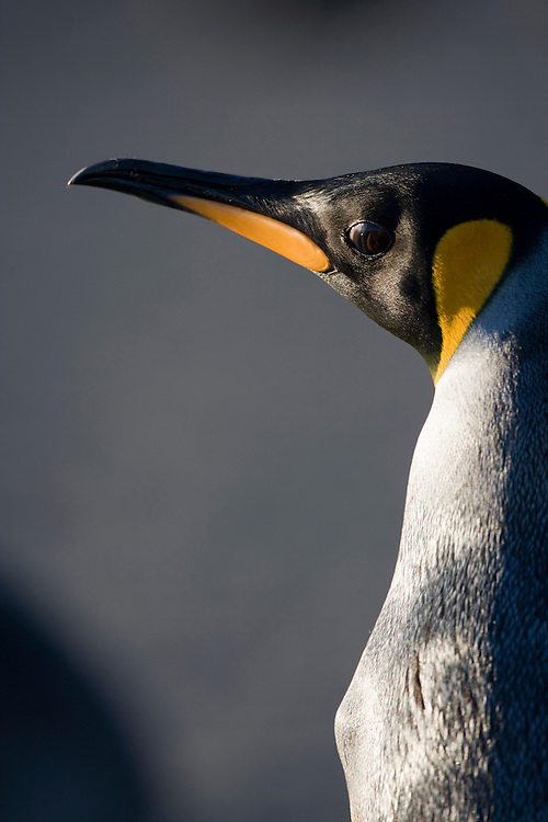 Antarctica, South Georgia Island (UK), Close-up portrait of King Penguin (Aptenodytes patagonicus)  resting in morning sun on beach along Right Whale Bay at dawn in late summer