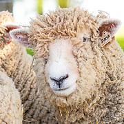 20190610 Jones Southdown sheep