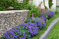 Geraniums, Leucanthemum vulgare (Ox eye daisies) and Centranthus ruber (Red valerian) growing along the base of a dry stone wall