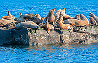 Steller Sea Lion (Eumetopias jubatus) also known as the Northern Sea Lion and Steller's Sea Lion on rocks near Valdes Isand, British Columbia, Canada