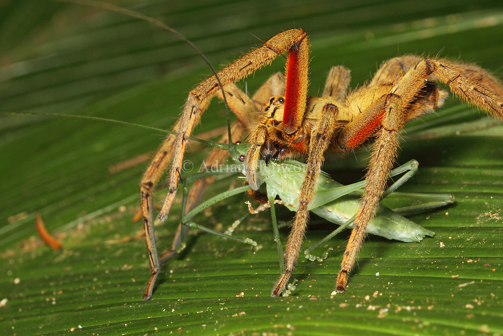 Wandering Spider (Cupiennius coccineus) feeding on katydid in rainforest, La Selva Biological Station, Costa Rica. <br />